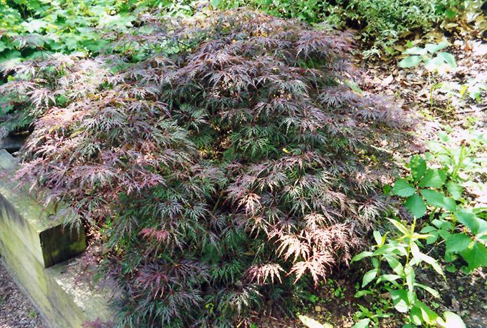 Cutleaf Japanese Maple (Acer palmatum 'Asplenifolium') at CountryMax Stores