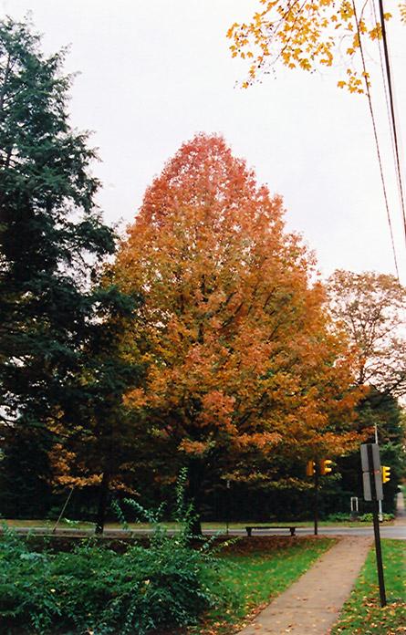 Shumard Oak (Quercus shumardii) at CountryMax Stores