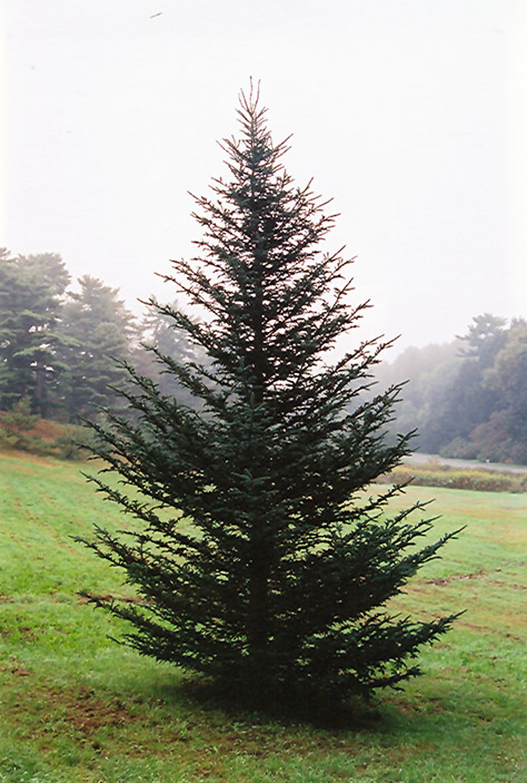 Fraser Fir (Abies fraseri) at CountryMax Stores
