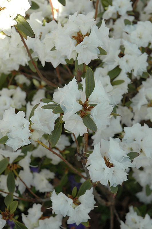 April Snow Rhododendron (Rhododendron 'April Snow') at CountryMax Stores