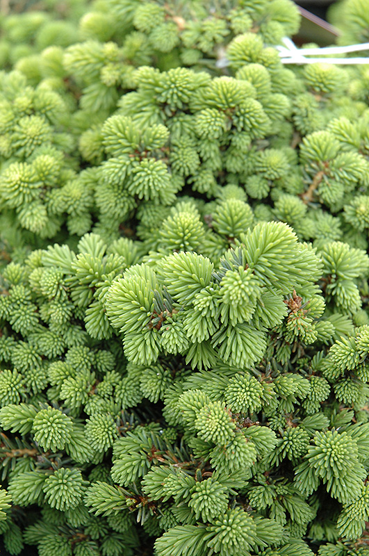 Little Gem Spruce (Picea abies 'Little Gem') at CountryMax Stores