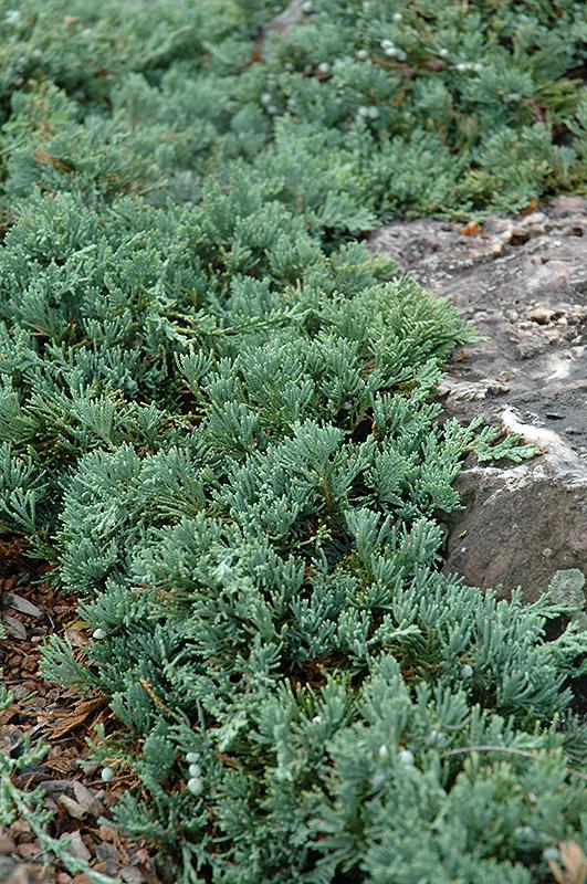 Blue Rug Juniper (Juniperus horizontalis 'Wiltonii') at CountryMax Stores