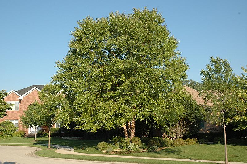 Heritage River Birch (Betula nigra 'Heritage') at CountryMax Stores