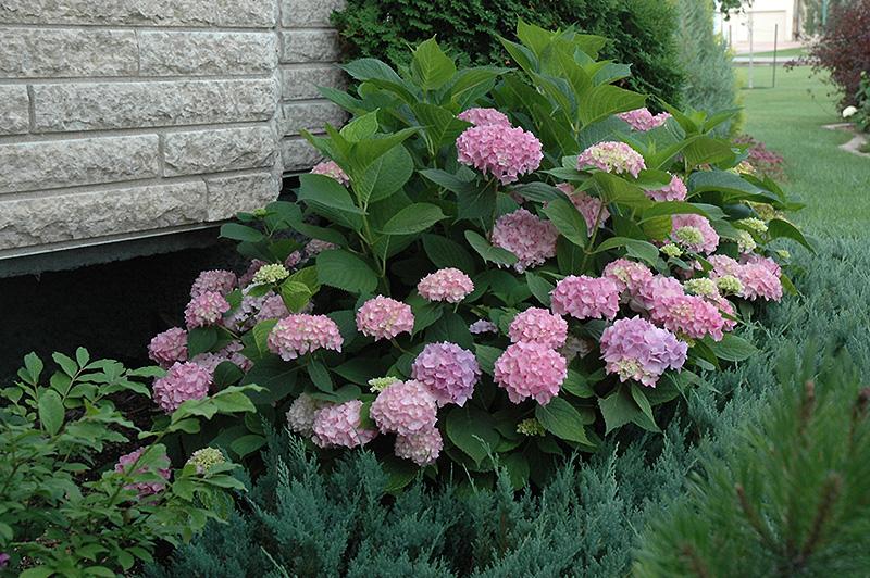 Endless Summer The Original Hydrangea (Hydrangea macrophylla 'Bailmer') at CountryMax Stores