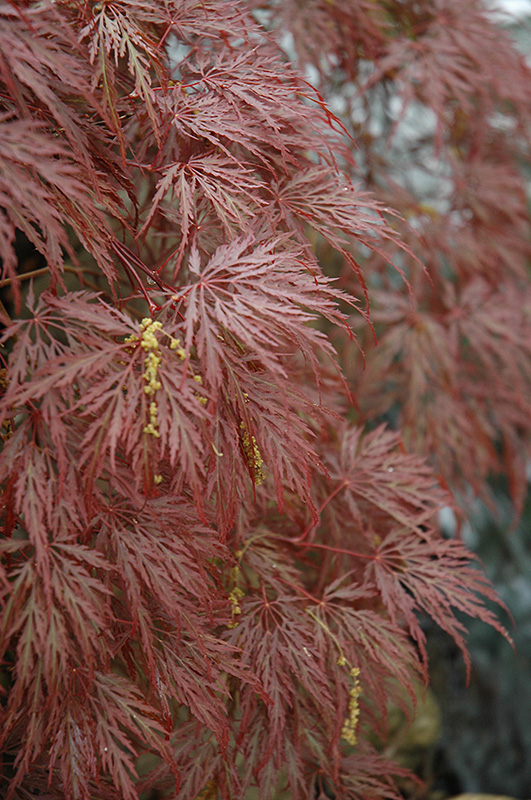 Inaba Shidare Cutleaf Japanese Maple (Acer palmatum 'Inaba Shidare') at CountryMax Stores