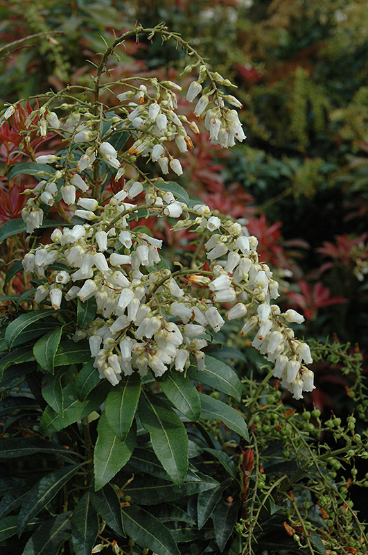 Mountain Fire Japanese Pieris (Pieris japonica 'Mountain Fire') at CountryMax Stores