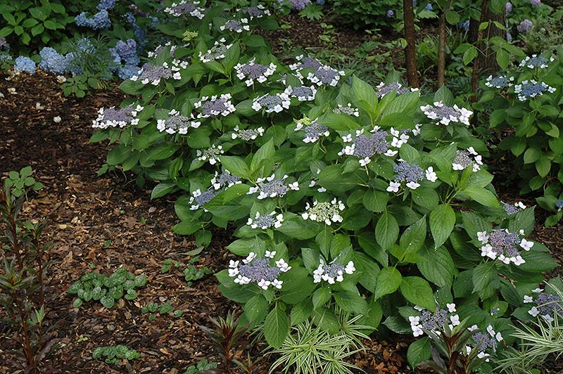 Twist-n-Shout Hydrangea (Hydrangea macrophylla 'PIIHM-I') at CountryMax Stores