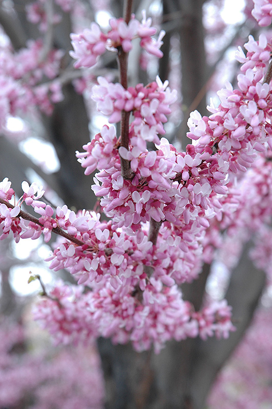 Eastern Redbud (Cercis canadensis) at CountryMax Stores
