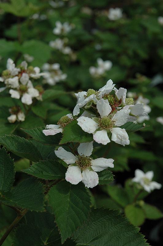 Triple Crown Blackberry (Rubus allegheniensis 'Triple Crown') at CountryMax Stores