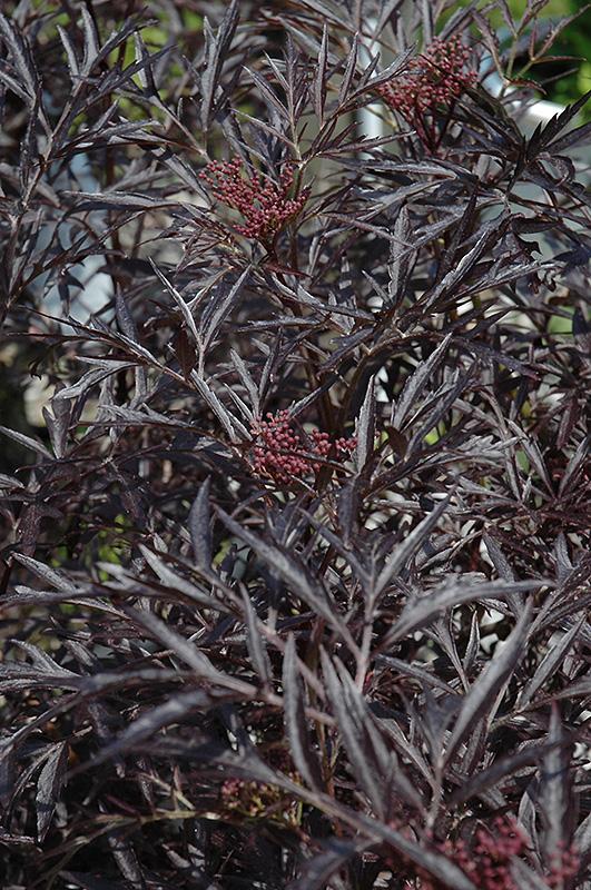 Black Lace Elder (Sambucus nigra 'Eva') at CountryMax Stores