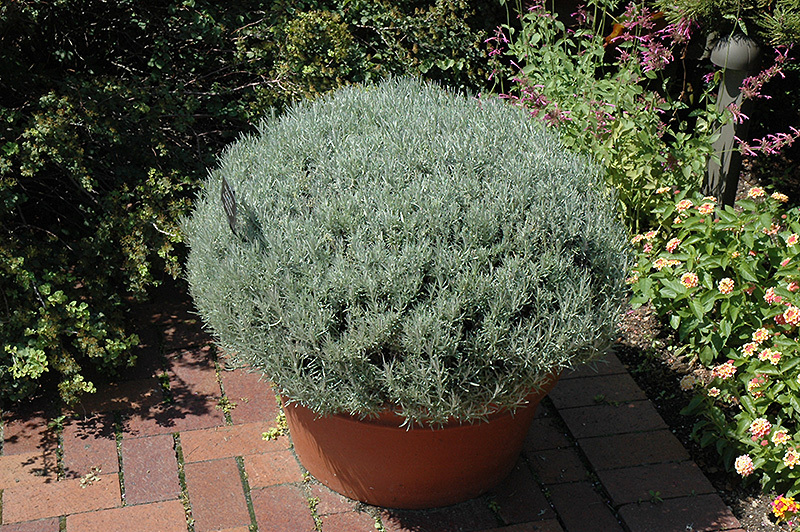 Curry Plant (Helichrysum italicum) at CountryMax Stores