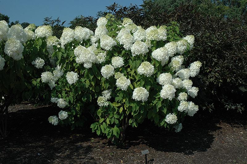 Phantom Hydrangea (Hydrangea paniculata 'Phantom') at CountryMax Stores