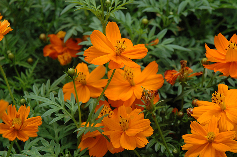 Cosmic Orange Cosmos (Cosmos 'Cosmic Orange') at CountryMax Stores