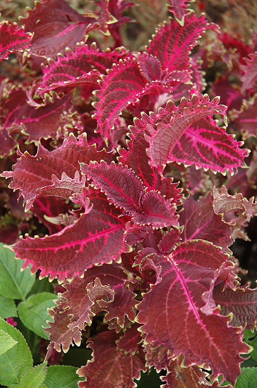 Red Ruffles Coleus (Solenostemon scutellarioides 'Red Ruffles') at CountryMax Stores