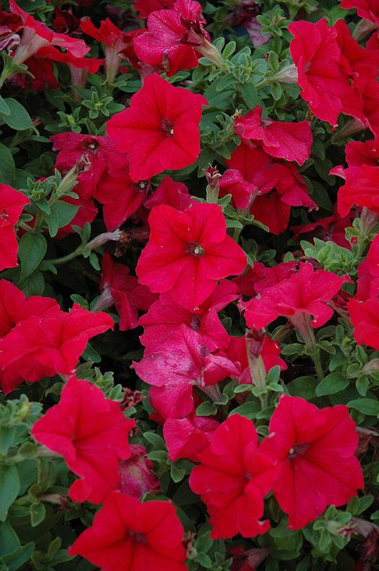 Pretty Grand Red Petunia (Petunia 'Pretty Grand Red') at CountryMax Stores