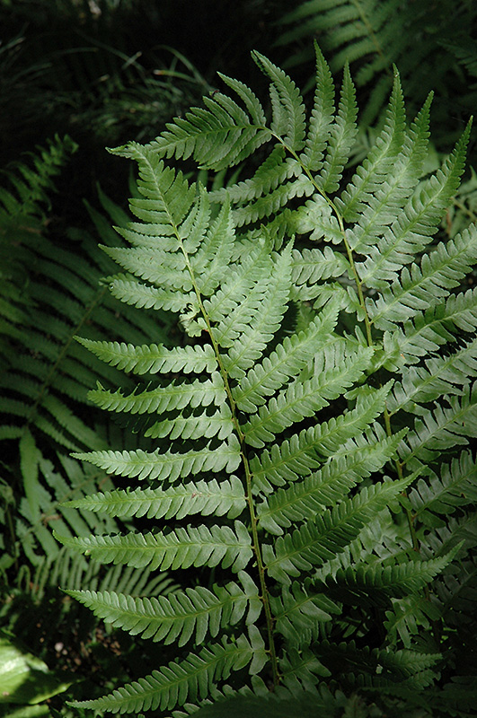 Dixie Wood Fern (Dryopteris x australis) at CountryMax Stores