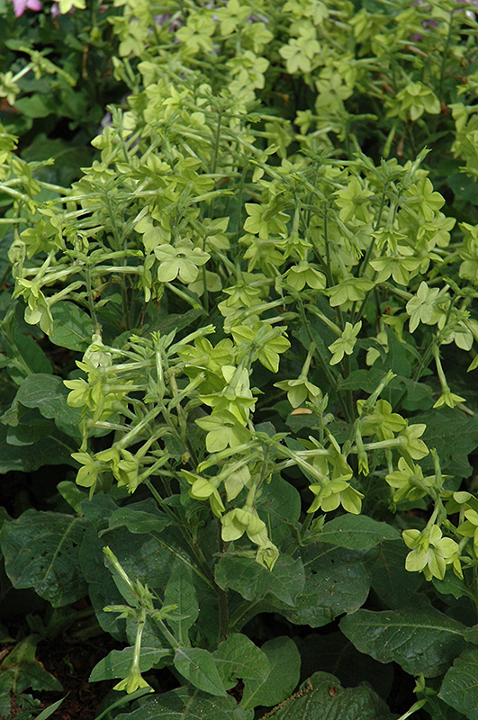Perfume Lime Flowering Tobacco (Nicotiana 'Perfume Lime') at CountryMax Stores