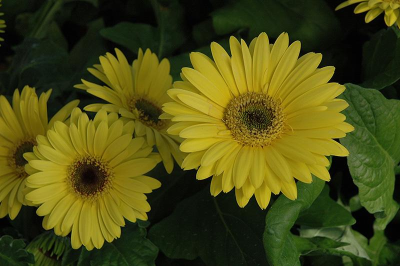 Royal Yellow Gerbera Daisy (Gerbera 'Royal Yellow') at CountryMax Stores