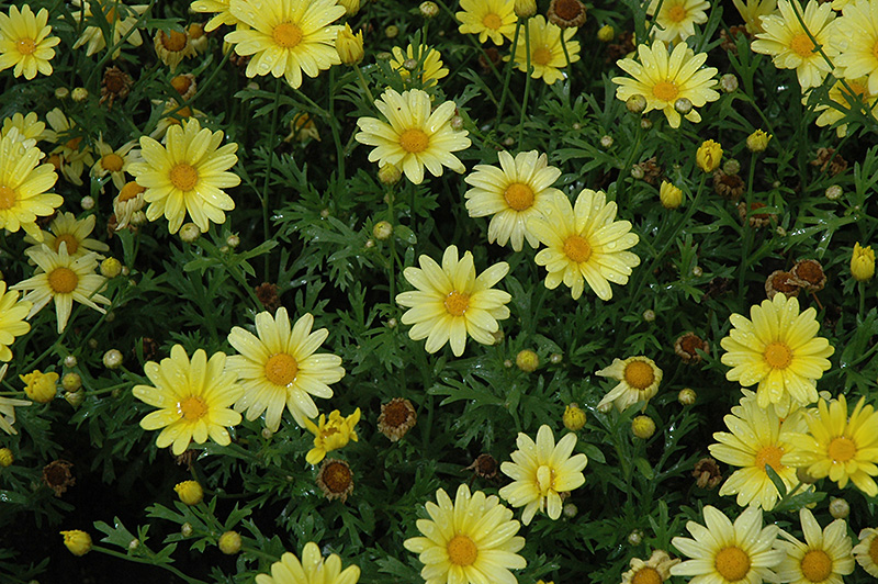 Butterfly Marguerite Daisy (Argyranthemum frutescens 'Butterfly') at CountryMax Stores