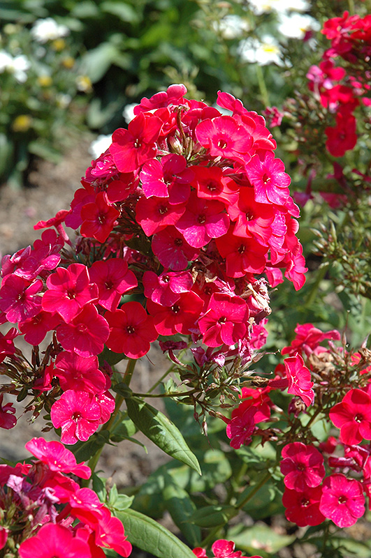 Red Flame Garden Phlox (Phlox paniculata 'Red Flame') at CountryMax Stores