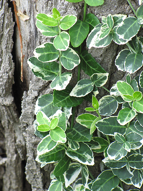 Emerald Gaiety Wintercreeper (Euonymus fortunei 'Emerald Gaiety') at CountryMax Stores