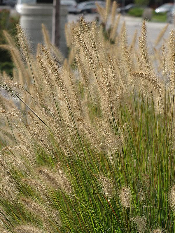 Hameln Dwarf Fountain Grass (Pennisetum alopecuroides 'Hameln') at CountryMax Stores