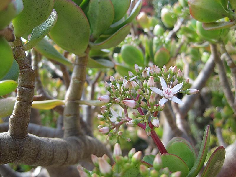 Jade Plant (Crassula ovata) at CountryMax Stores
