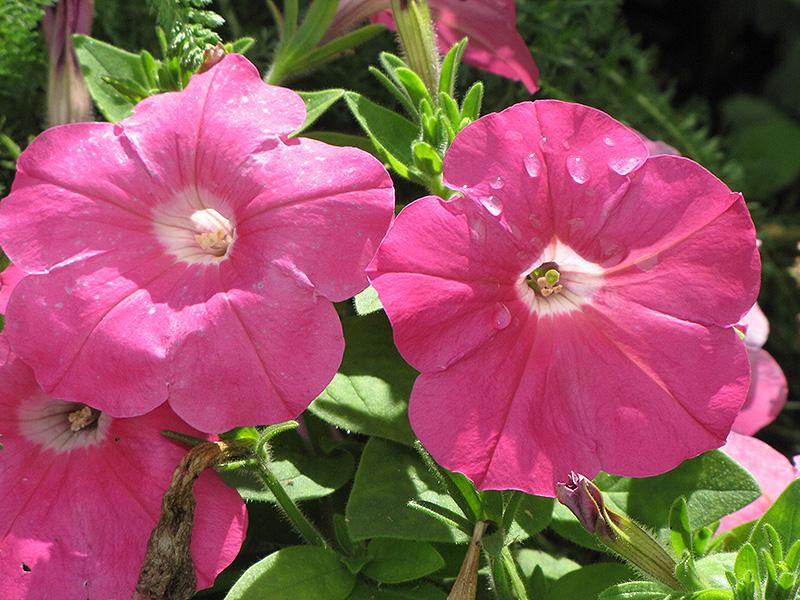 Madness Pink Petunia (Petunia 'Madness Pink') at CountryMax Stores