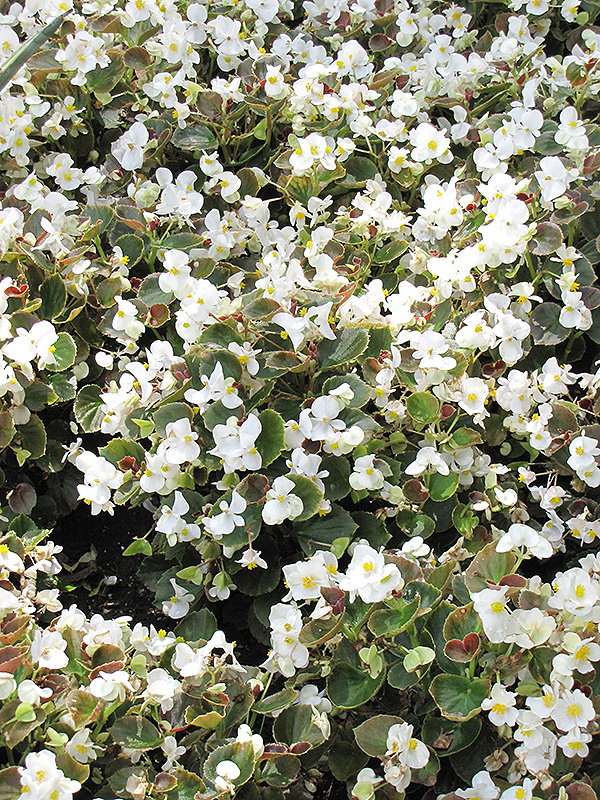 Bada Boom White Begonia (Begonia 'Bada Boom White') at CountryMax Stores