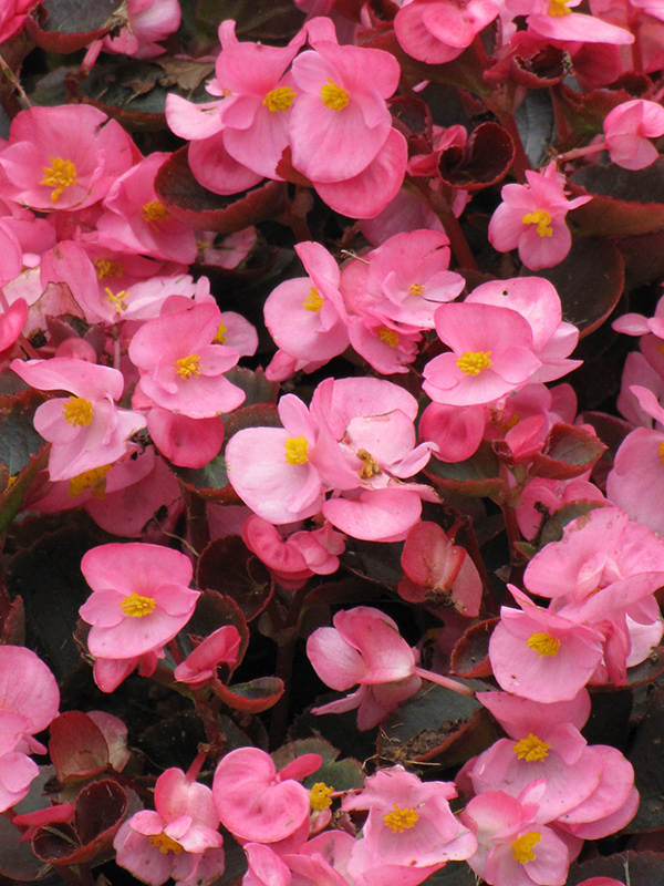 Bada Boom Pink Begonia (Begonia 'Bada Boom Pink') at CountryMax Stores