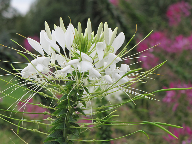 White Queen Spiderflower (Cleome hassleriana 'White Queen') at CountryMax Stores