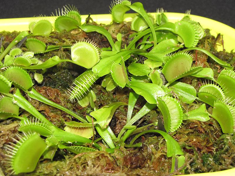 Venus Flytrap (Dionaea muscipula) at CountryMax Stores