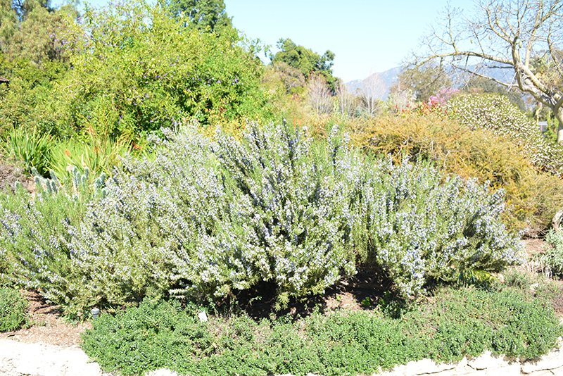 Blue Spires Rosemary (Rosmarinus officinalis 'Blue Spires') at CountryMax Stores