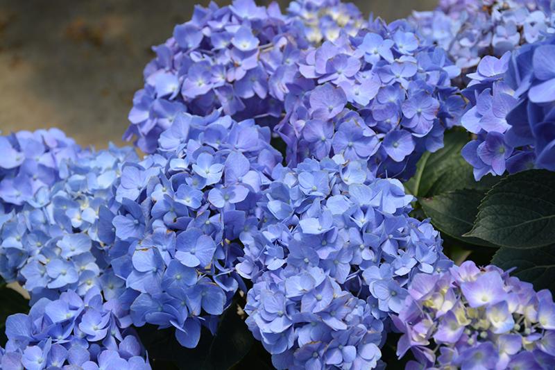 Let's Dance Blue Jangles Hydrangea (Hydrangea macrophylla 'SMHMTAU') at CountryMax Stores