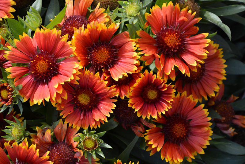 Sunset Snappy Blanket Flower (Gaillardia x grandiflora 'Sunset Snappy') at CountryMax Stores