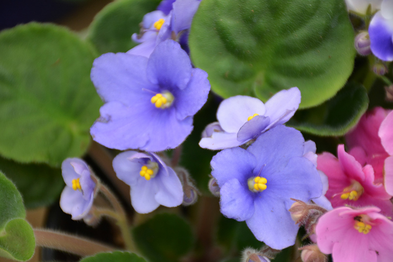 Rob's Twinkle Blue African Violet (Saintpaulia 'Rob's Twinkle Blue') at CountryMax Stores