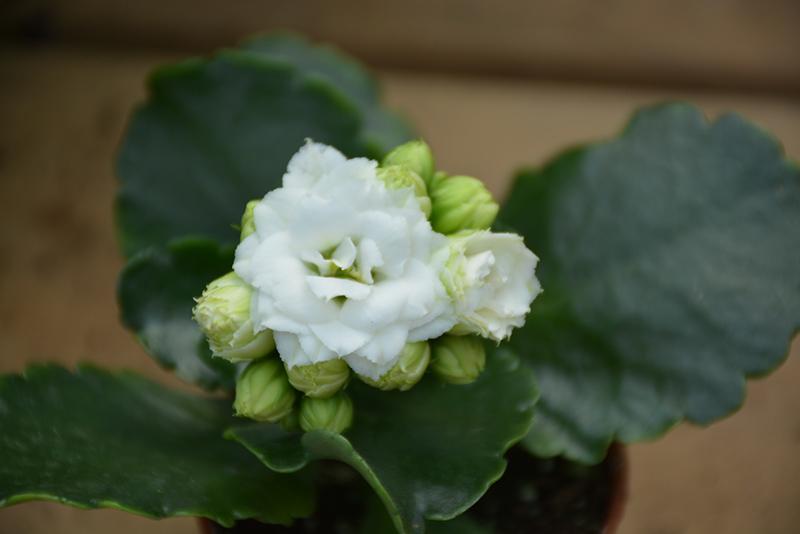 Calandiva White Kalanchoe (Kalanchoe blossfeldiana 'Calandiva White') at CountryMax Stores