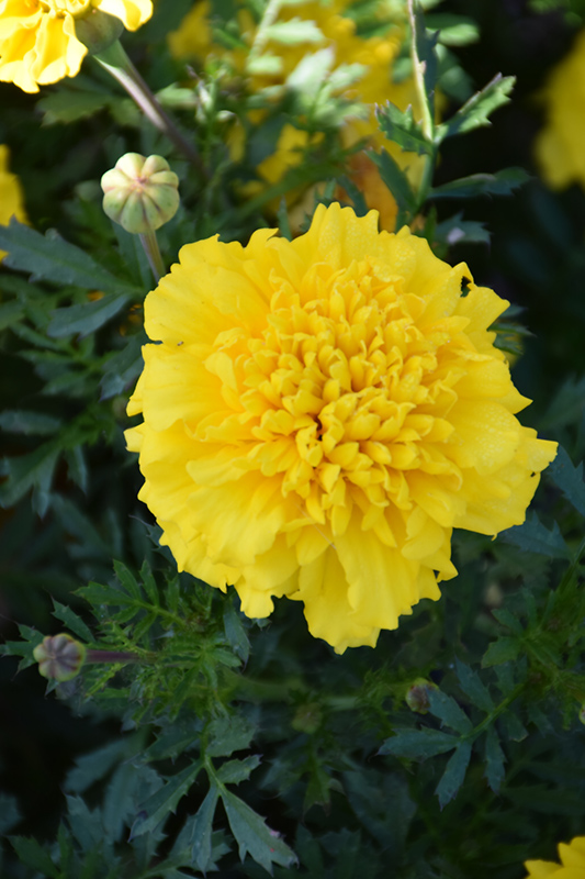 Little Hero Yellow Marigold (Tagetes patula 'Little Hero Yellow') at CountryMax Stores