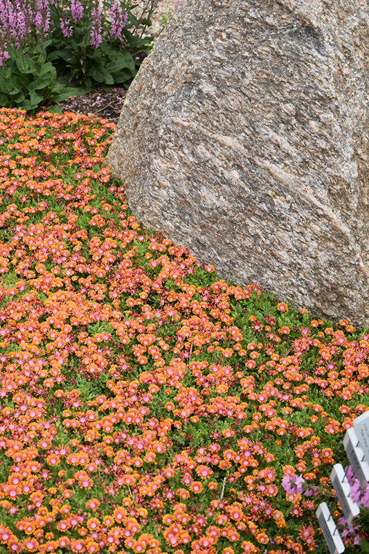 Fire Spinner Ice Plant (Delosperma 'Fire Spinner') at CountryMax Stores