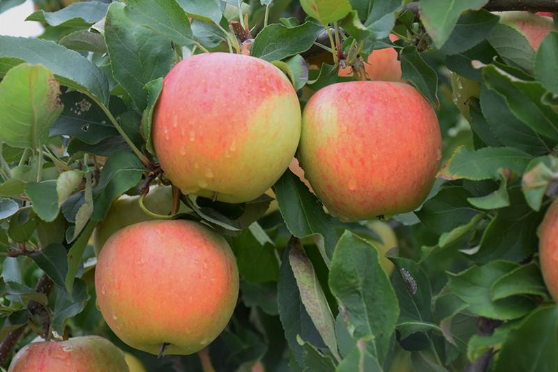 Gala Apple (Malus 'Gala') at CountryMax Stores