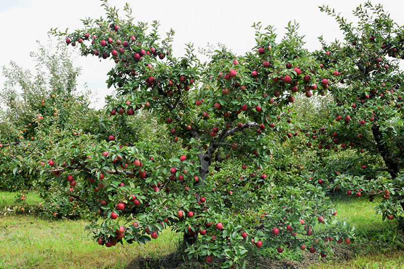 Red Delicious Apple (Malus 'Red Delicious') at CountryMax Stores