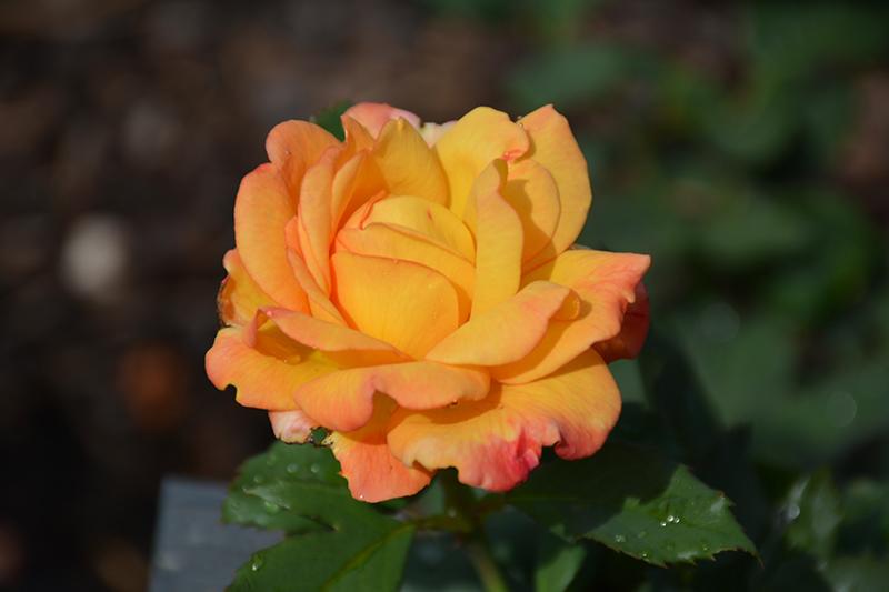 Rio Samba Rose (Rosa 'Rio Samba') at CountryMax Stores