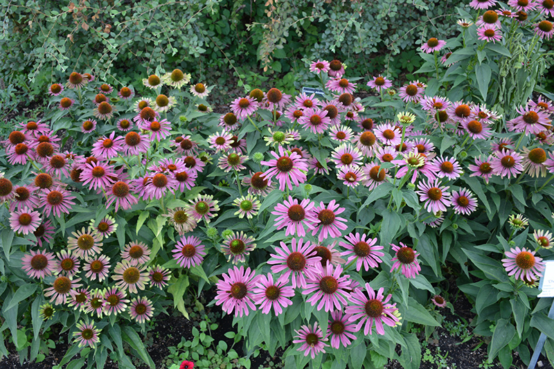 Green Twister Coneflower (Echinacea purpurea 'Green Twister') at CountryMax Stores