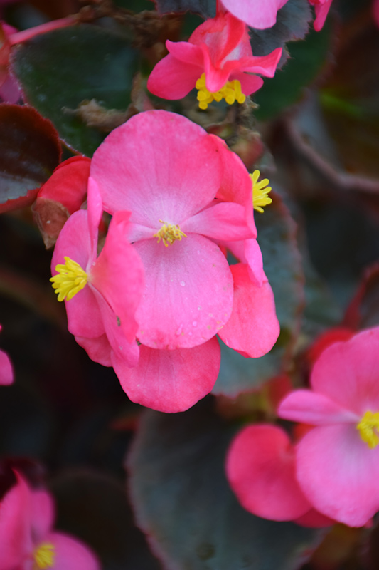 Bada Boom Rose Begonia (Begonia 'Bada Boom Rose') at CountryMax Stores