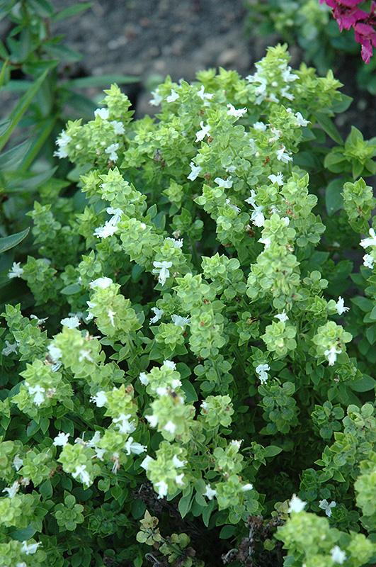 Boxwood Basil (Ocimum basilicum 'Boxwood') at CountryMax Stores