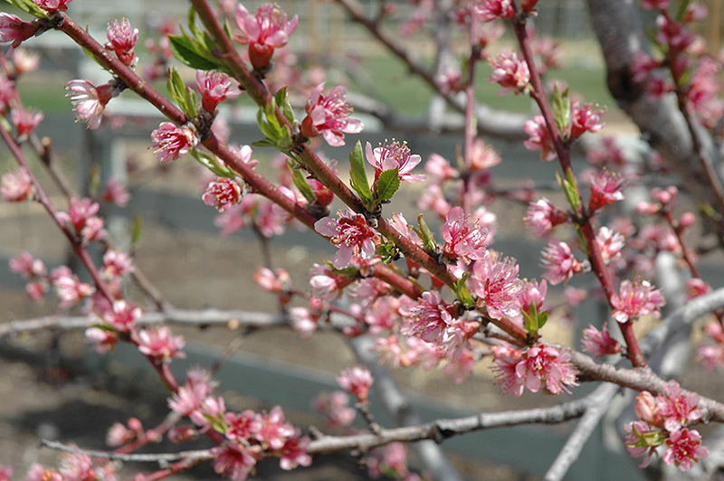 Redhaven Peach (Prunus persica 'Redhaven') at CountryMax Stores