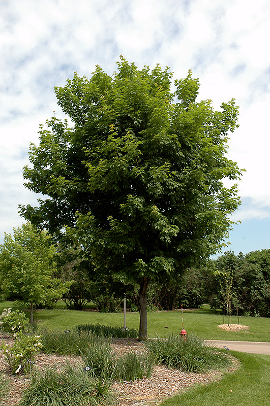 Sugar Maple (Acer saccharum) at CountryMax Stores