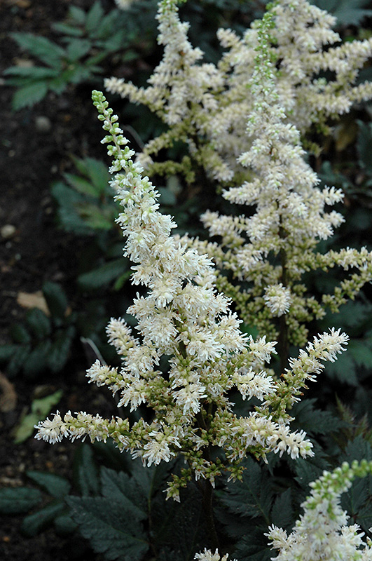 Visions in White Chinese Astilbe (Astilbe chinensis 'Visions in White') at CountryMax Stores