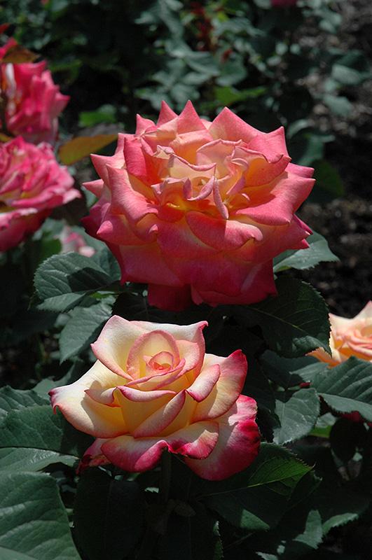 Dream Come True Rose (Rosa 'Dream Come True') at CountryMax Stores