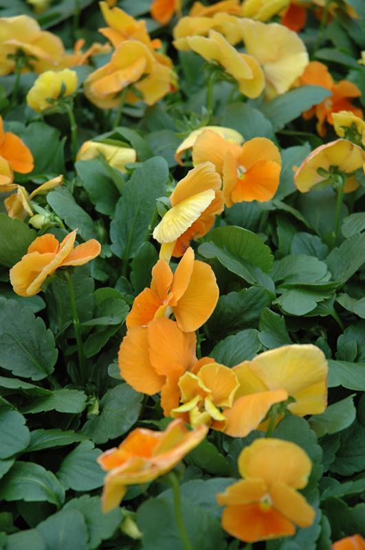 Matrix Orange Pansy (Viola 'PAS491790') at CountryMax Stores